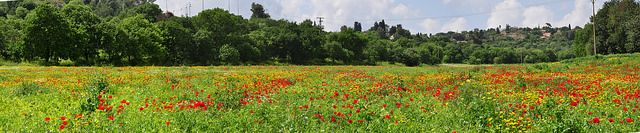 Field of poppies panorama | Flickr - Photo Sharing!