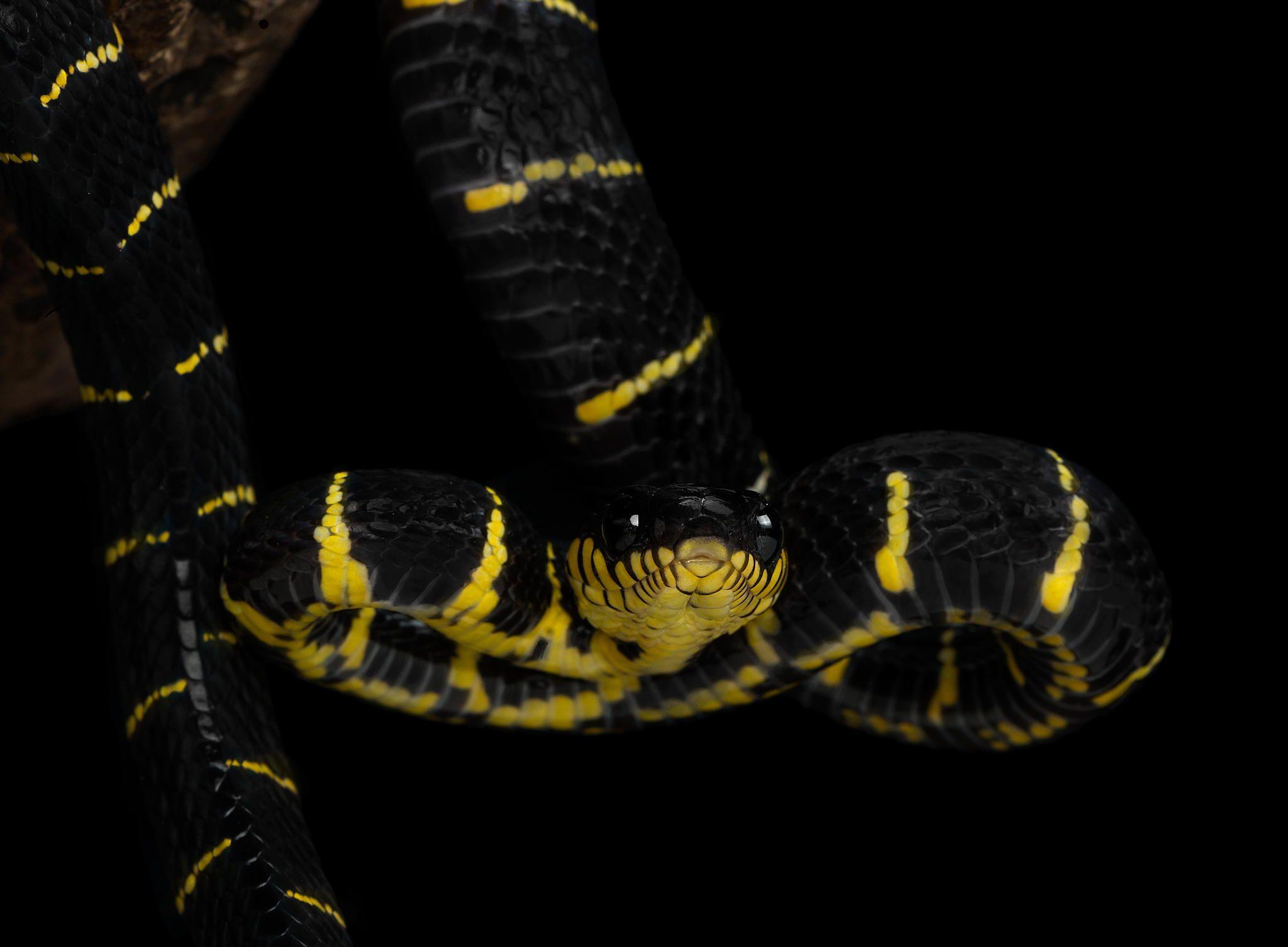 Snake Attitude
