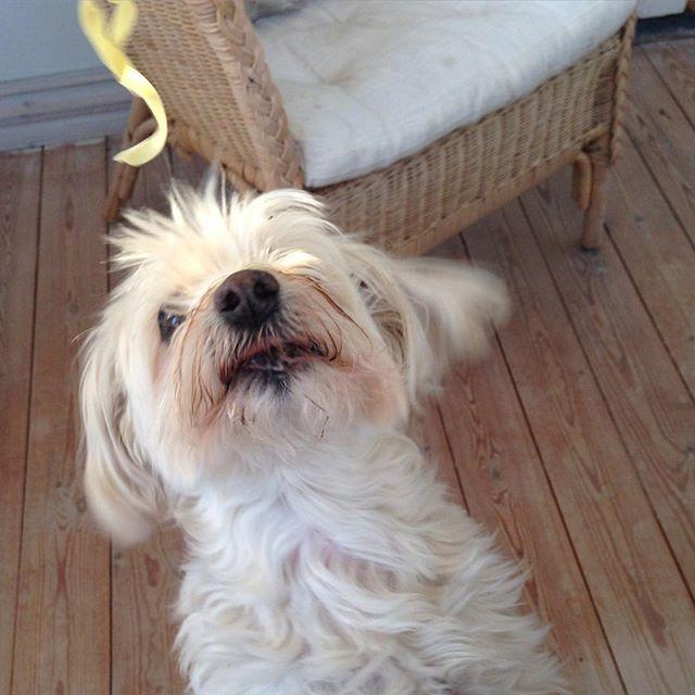 Give me the pasta, woman - give it to me NOW!!! #pasta #viggo #whitedog #cutedog #happydog #bichon #bichonhavanais #bichonhavanese #havanese #havanais #tidningenharligahund #havaneseoftheworld #havaneseofinstagram #revingeby