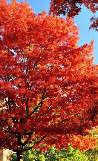 Shumard Red Oak Shade Trees Trees To Plant Cool Landscapes