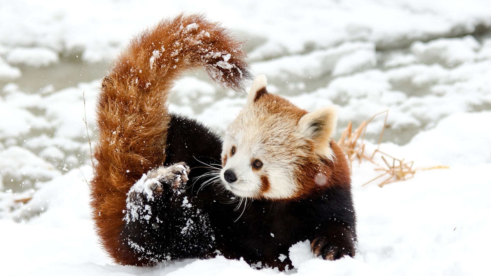 Chinese Little Red Panda Playing In Snow Cute Animals Red Panda Baby Animals