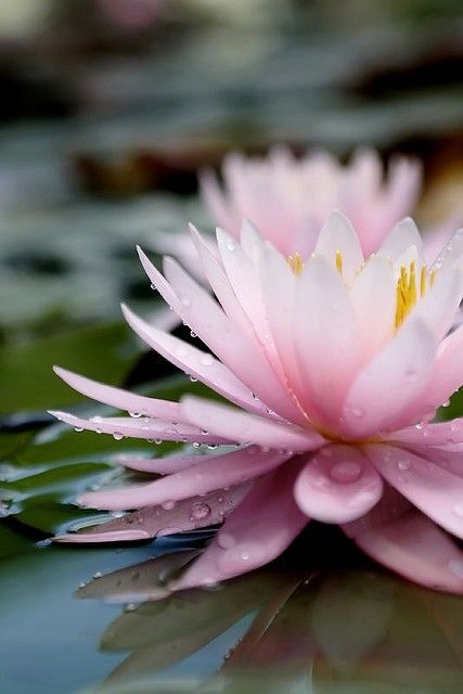 Pink Water Lily - Phoenix Legend