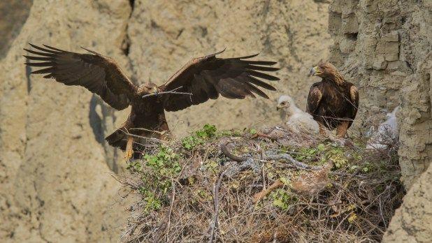 العقاب الذهبي ملك الطيور احد اكبر و اشرس الجوارح في العالم موضوع شامل طيور العرب Bald Eagle Eagle Nest Golden Eagle
