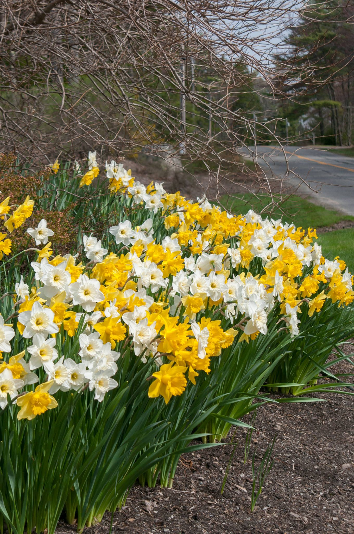 The Gold Shoulder® May 10, 2015, Maine Daffodil bulbs