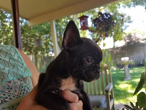 French Bulldog Puppy For Sale In League City Tx Adn 31176 On