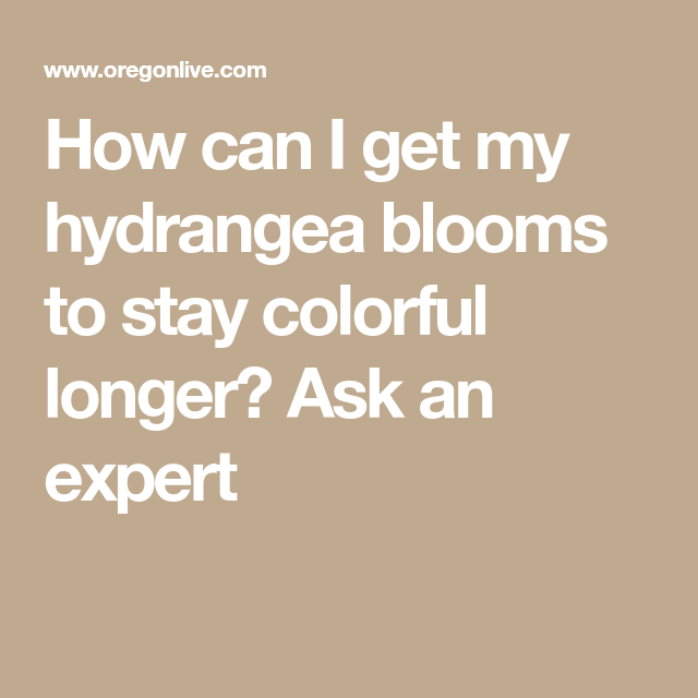 How can I get my hydrangea blooms to stay colorful longer? Ask an expert