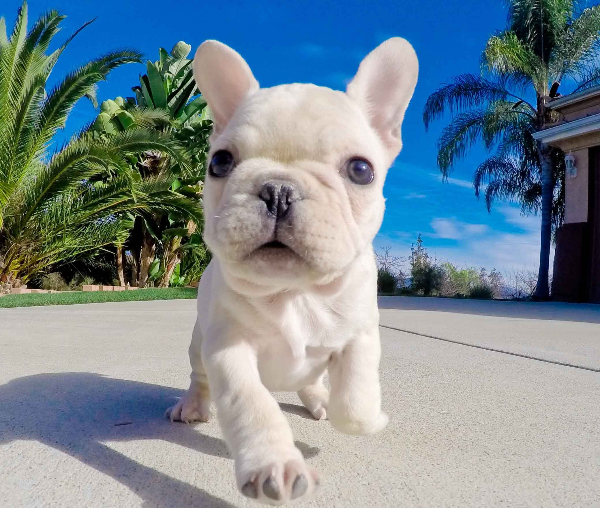 French Bulldog Puppies For Sale Online Http Ift Tt 2fpckrw French Bulldog Puppies Bulldog Puppies White French Bulldog Puppies