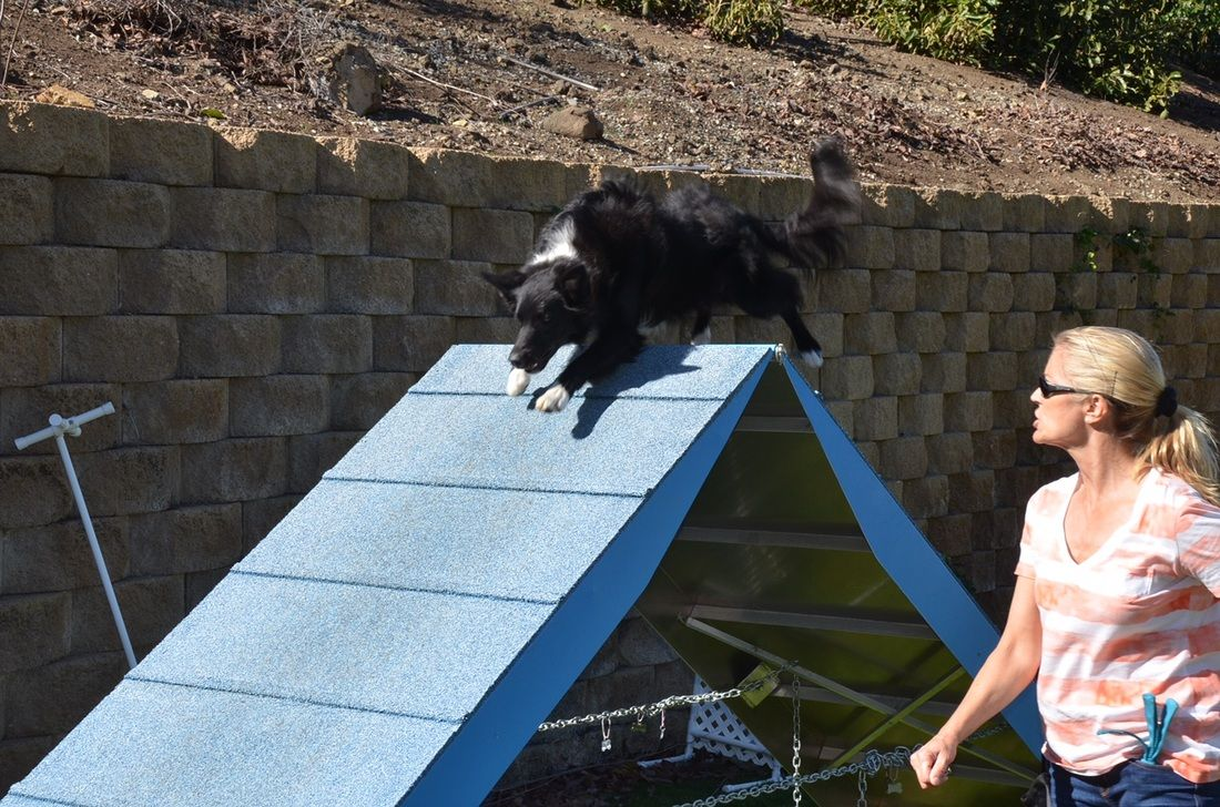 A 2J2K Ranch Border Collie running the agility Aframe in