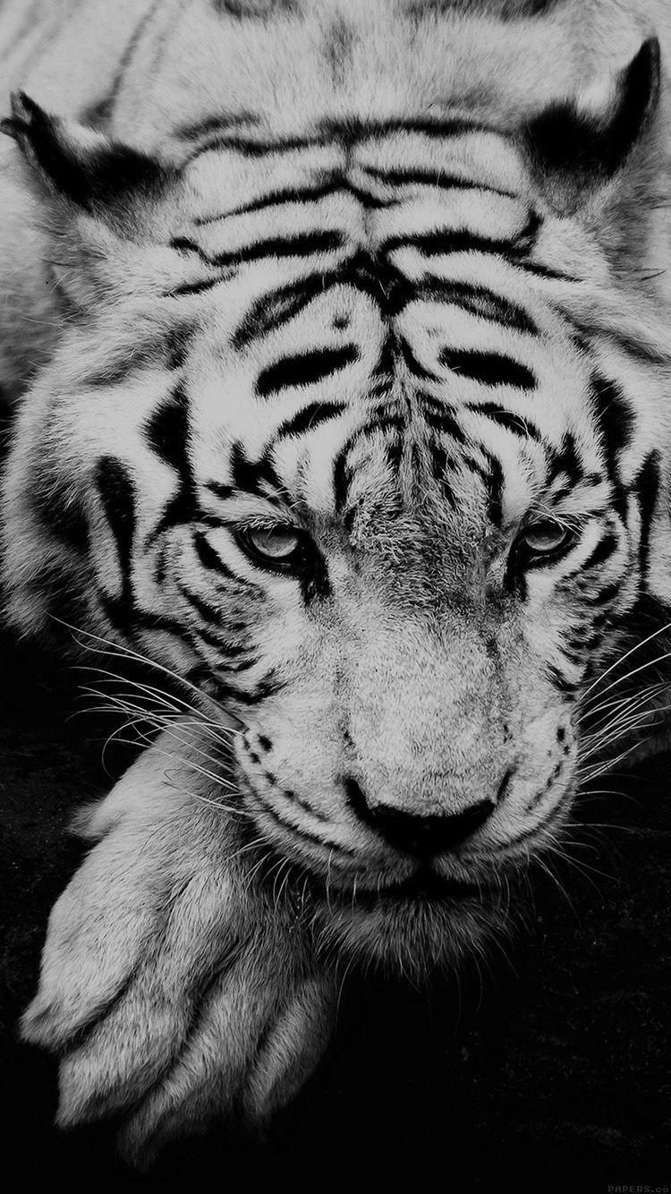 Ml57 Bw Dark Tiger Animal Fotografi Hewan Harimau Putih Binatang Buas