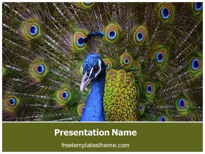 Download free peacock dancing feather powerpoint template for download free peacock dancing feather powerpoint template for your toneelgroepblik Choice Image