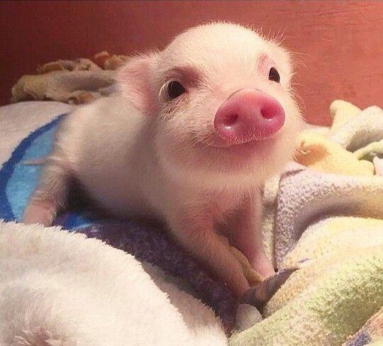 Smiling Baby Teacup Pig