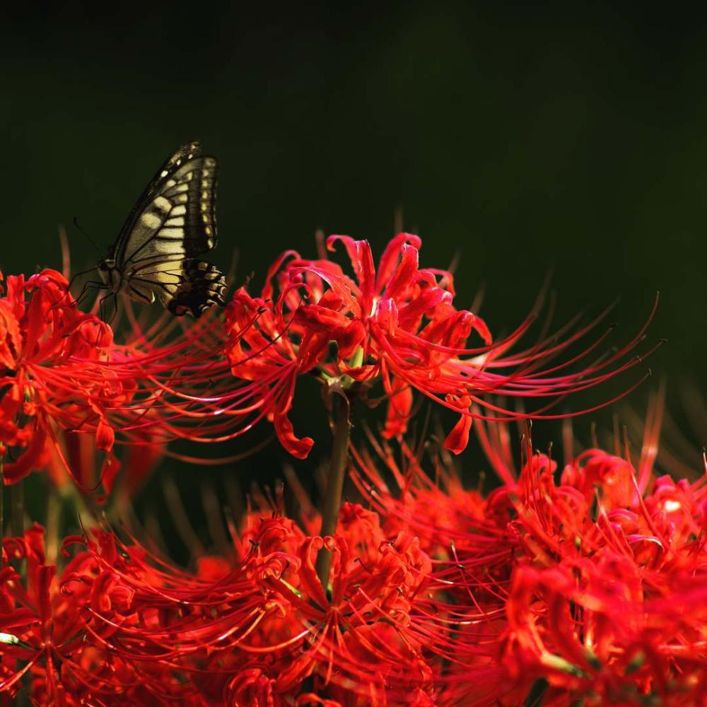 Tổng hợp những hình ảnh về hoa bỉ ngạn truyền thuyết về hoa bỉ ngạn bạn đã  biết zicxa hình ảnh – Artofit