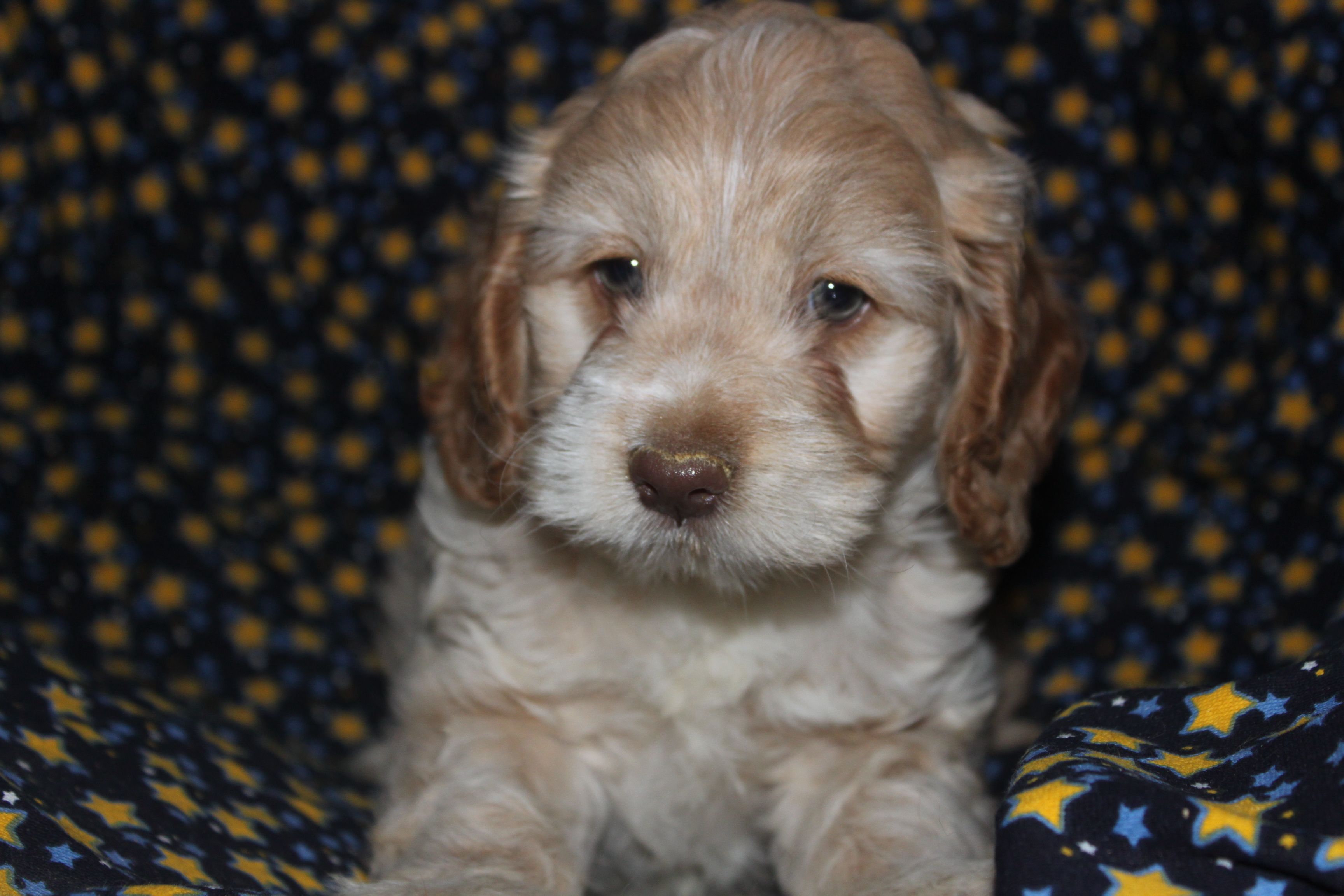 Cockapoo Puppies For Sale In Peach Bottom Pennsylvania