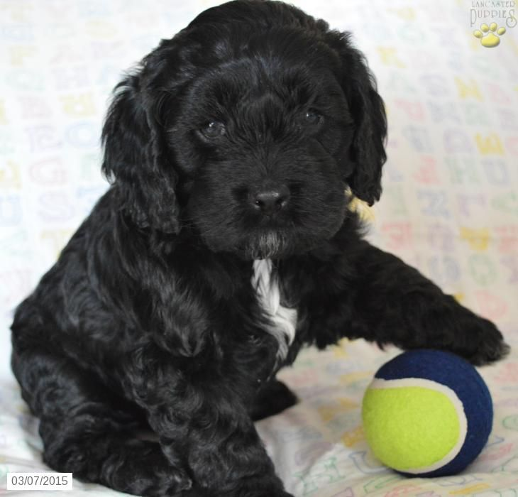 Cockapoo Puppy For Sale In Ohio Puppies Pinterest Puppies
