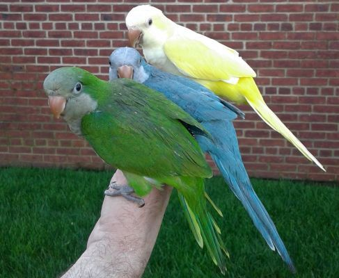 Genes determine color of quaker parrots | Quaker Parrots