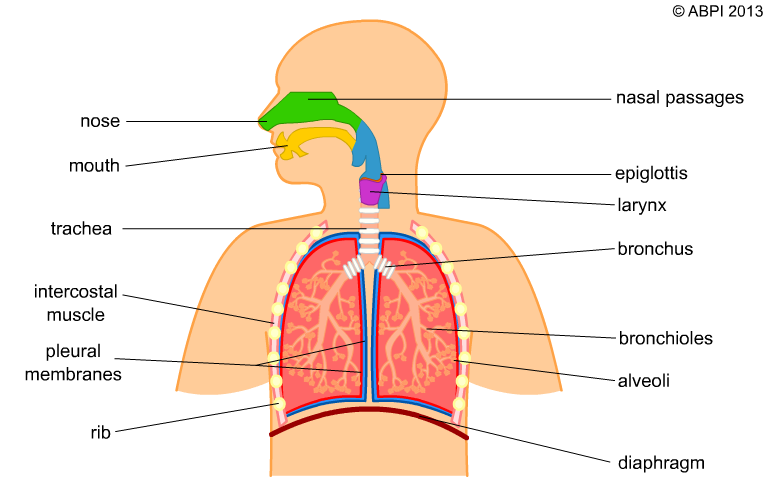 A Simple Model Of The Human Breathing System Link To It Https Www Abpischools Org Uk Top Respiratory System Projects Human Body Systems Respiratory System