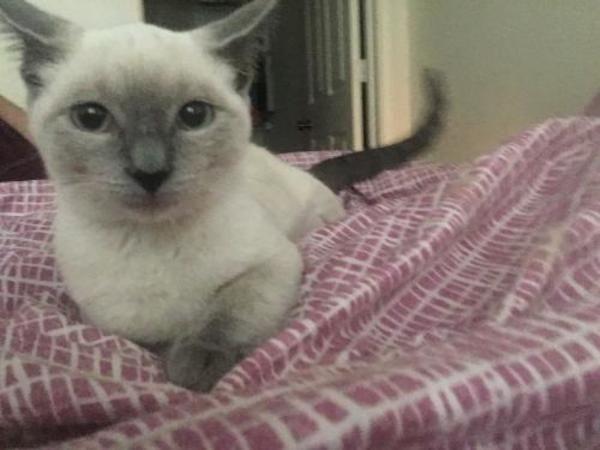 Domestic Medium Hair Siamese Cat For Adoption In Sapulpa Cat Adoption Cats Cat Rescue
