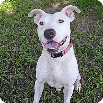 Pictures of 10311563 a Pit Bull Terrier Mix for adoption in Brooksville, FL who needs a loving home. #petadoption