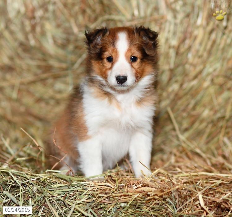Shetland Sheepdog Puppy For Sale In Pennsylvania Shetland Sheepdog Puppies Sheepdog Sheltie Puppy