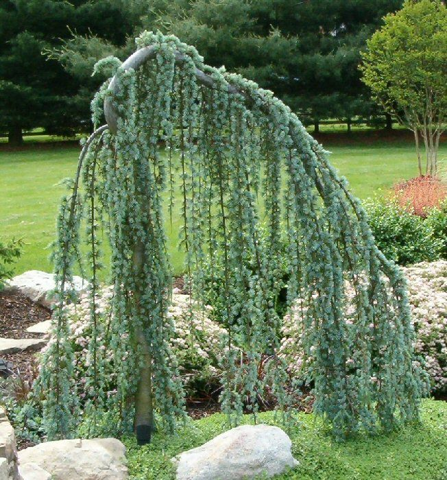 front yard weeping blue atlas cedar gardenlove pinterest vorg rten. Black Bedroom Furniture Sets. Home Design Ideas