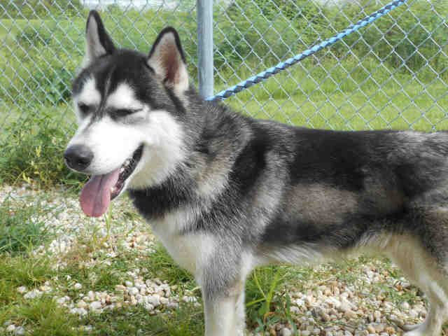 Beautiful Husky Asia Found In Tampa Bay Area Florida Petharbor Com Animal Shelter Adopt A Pet Dogs Cats Puppies Kittens Animal Shelter Animals Dogs