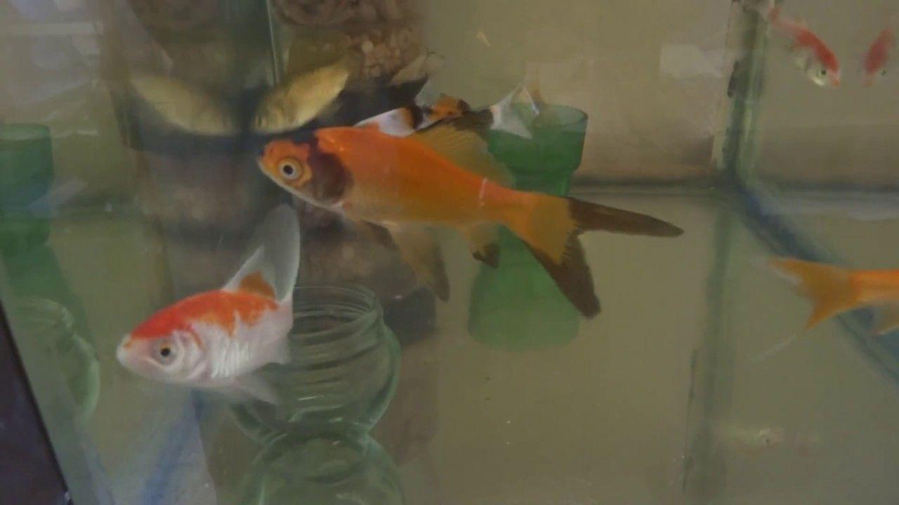 Goldfish Fry | Little Goldfish Fry Growfish Tank Wallpaper Hd Fish Tank