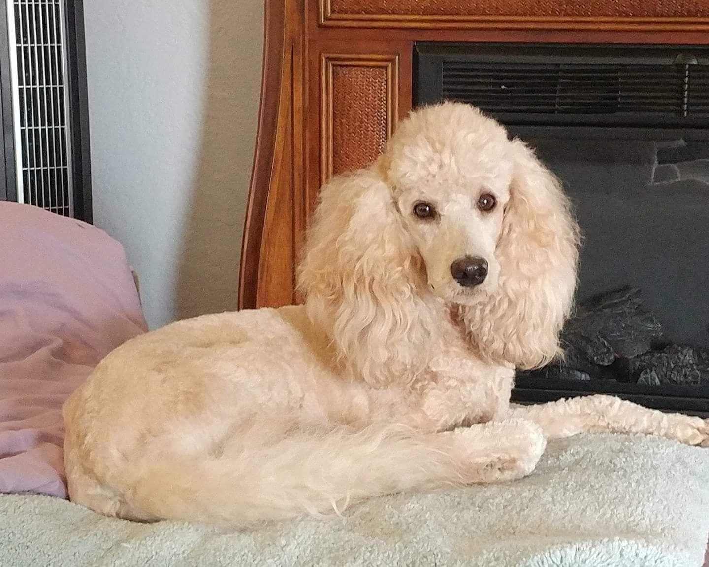 Moyen 3 Years Old Moyen Poodle Poodle