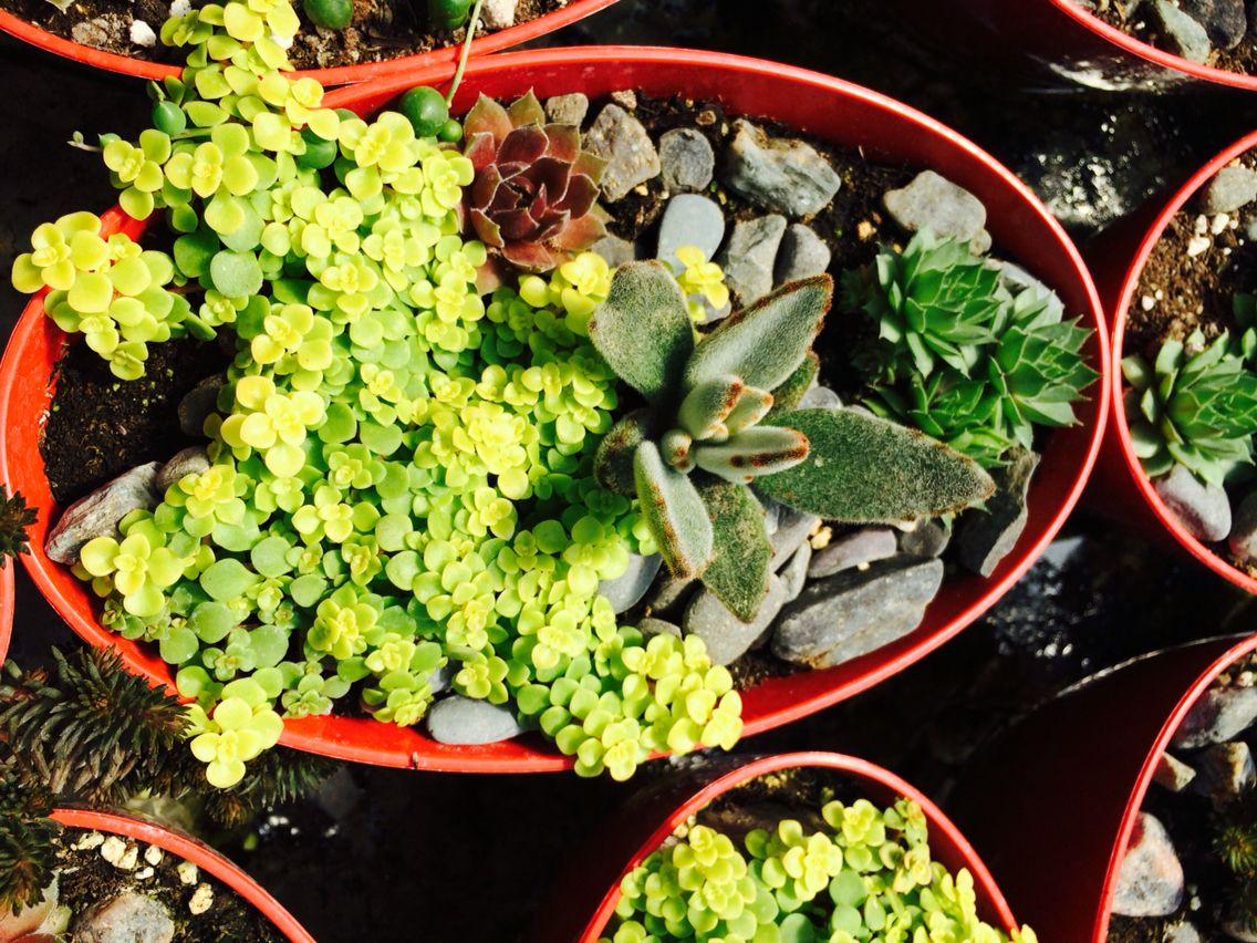 jardin de plantes grasses fait par les serres lahaie. Black Bedroom Furniture Sets. Home Design Ideas