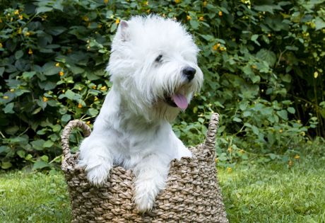 West Highland White Terrier Dog Breed Information West Highland