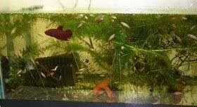 Cara Mengobati Ikan Cupang