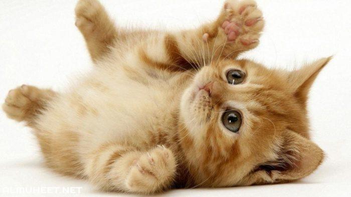 شيرازي Kittens Cutest Kitten Wallpaper Cuddle Pictures