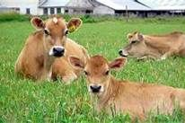 COWS - Bing Images