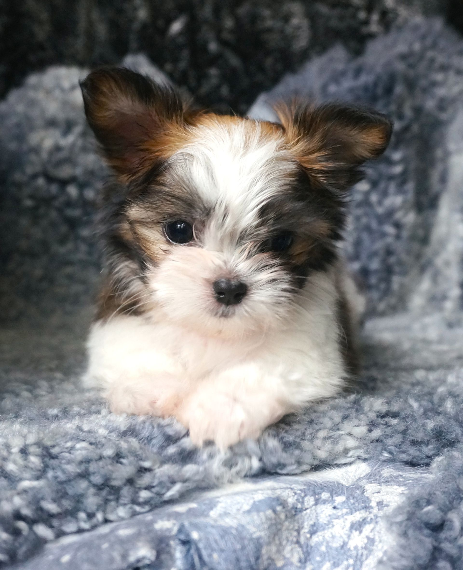 Miki puppies for sale puppies miki dog
