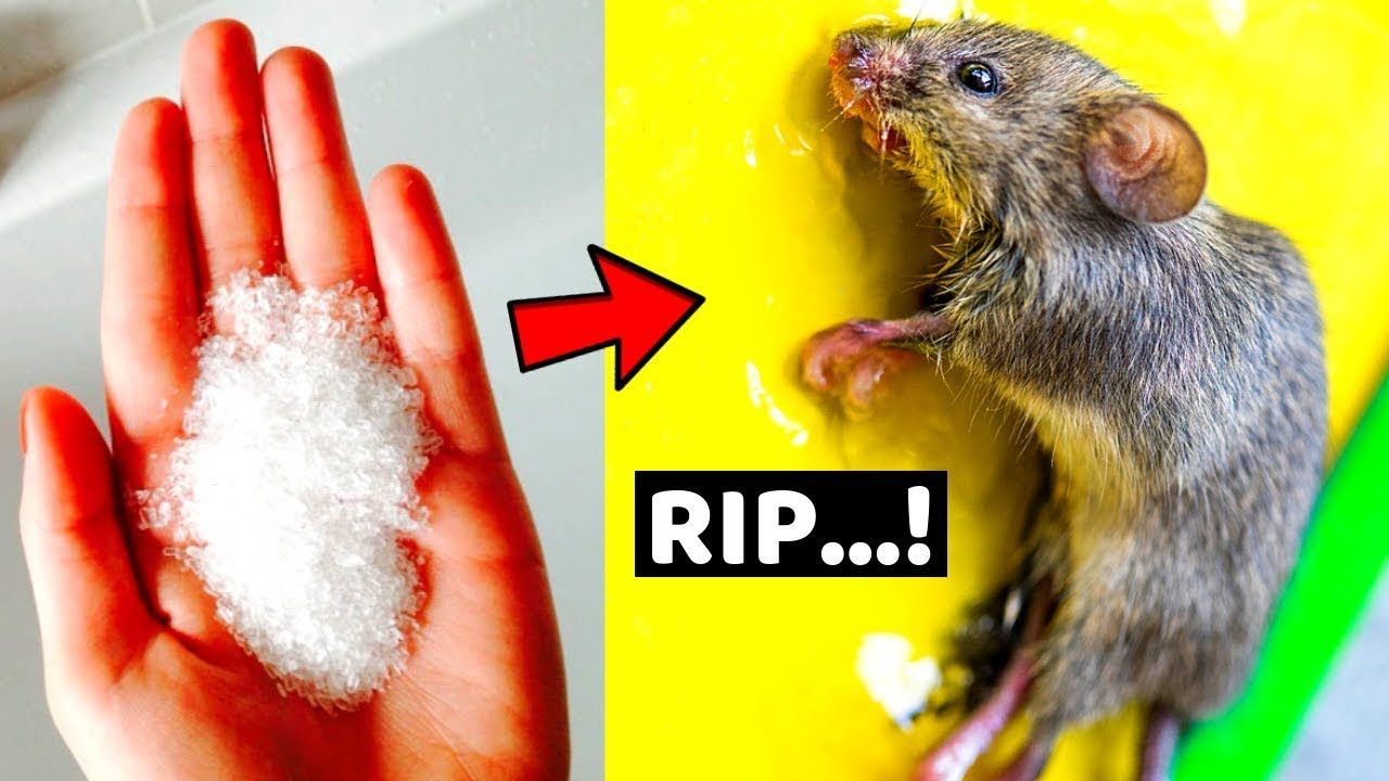 How To Get Rid Of Mice Permanently In A Natural Way Home