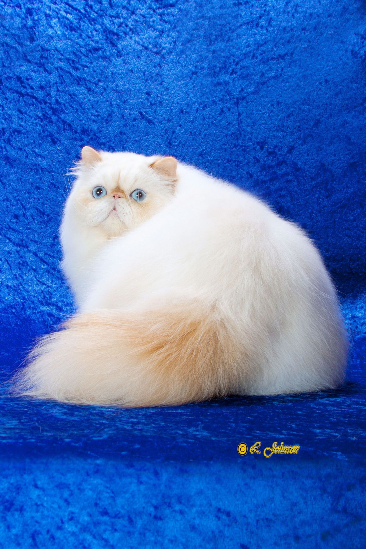 Himalayan cats: photos, description of the breed, character, characteristics of the content and care 2