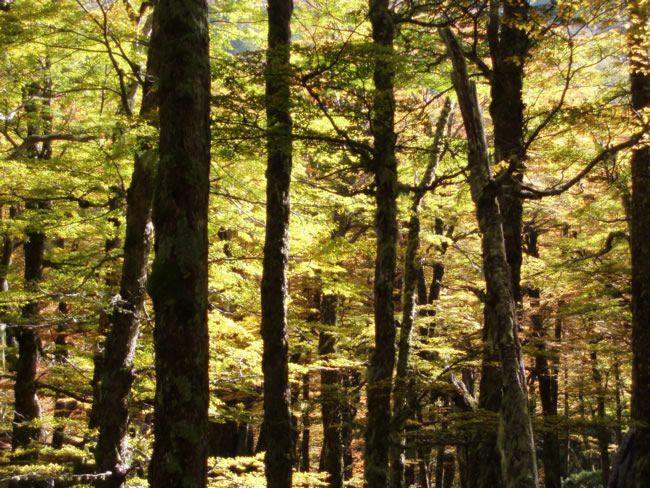 Lenga Forest Bosque De Lengas Foto Slimiti Com Arboles Villa