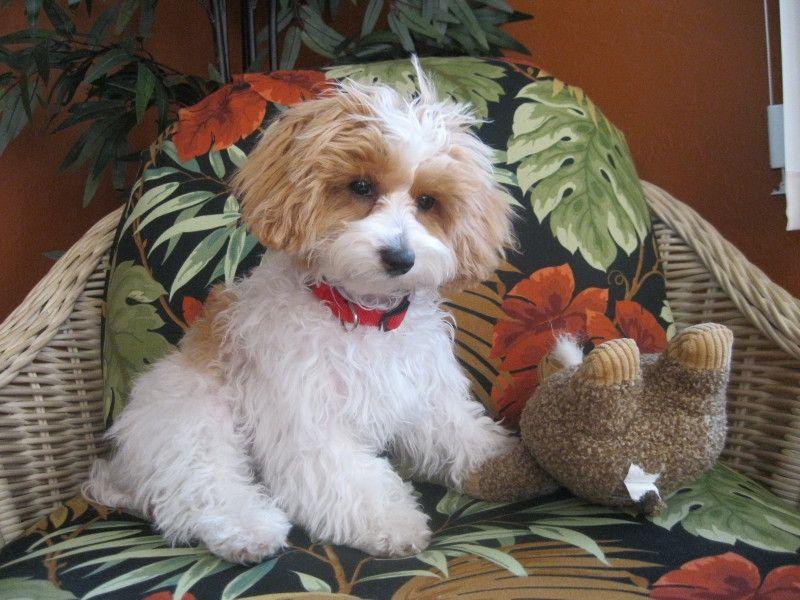 Papipoo Papillon Poodle Mix Info Temperament Care Pictures Papipoo Poodle Mix Poodle Mix Dogs
