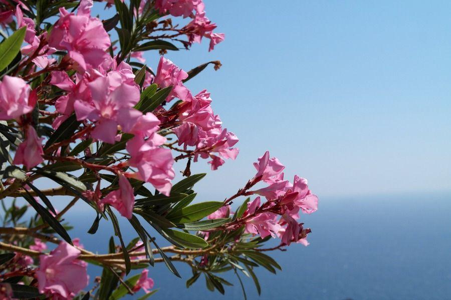 Oleander in Sicily