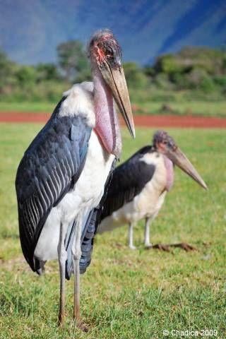 切られた羽が生えて 逃げたアフリカハゲコウ 捕獲難しく 読売新聞 千葉市若葉区にある千葉市動物公園から コウノトリの仲間のアフリカハゲコウの雌一羽が逃げ出したそうです 元記事に脱走中のハゲコウの写真があります 動物園などで屋外飼育されている鳥類は羽