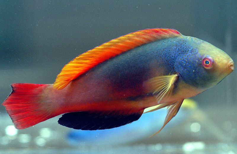 Fairy Wrasse Fish Scott S Fairy Wrasses Are One Of The Most