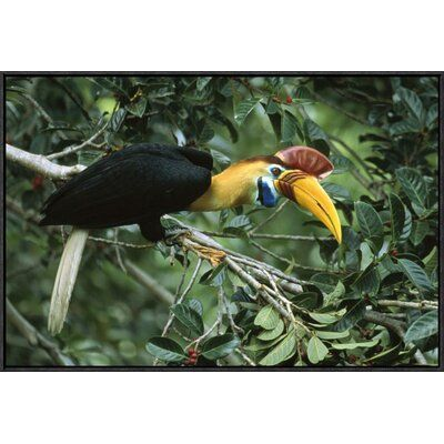 Global Gallery Sulawesi Red-Knobbed Hornbill Male in Fruiting Fig Tree, Sulawesi, Indonesia by Mark Jones Framed Photographic Print on Canvas Size: 20#canvas #fig #framed #fruiting #gallery #global #hornbill #indonesia #jones #male #mark #photographic #print #redknobbed #size #sulawesi #tree