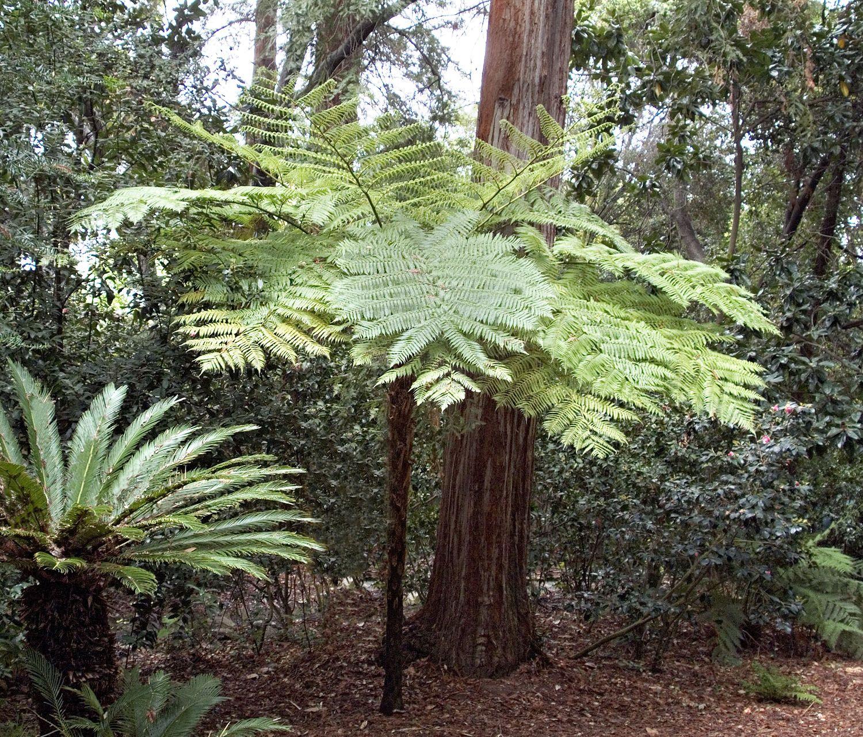 Small Crop Of Australian Tree Fern