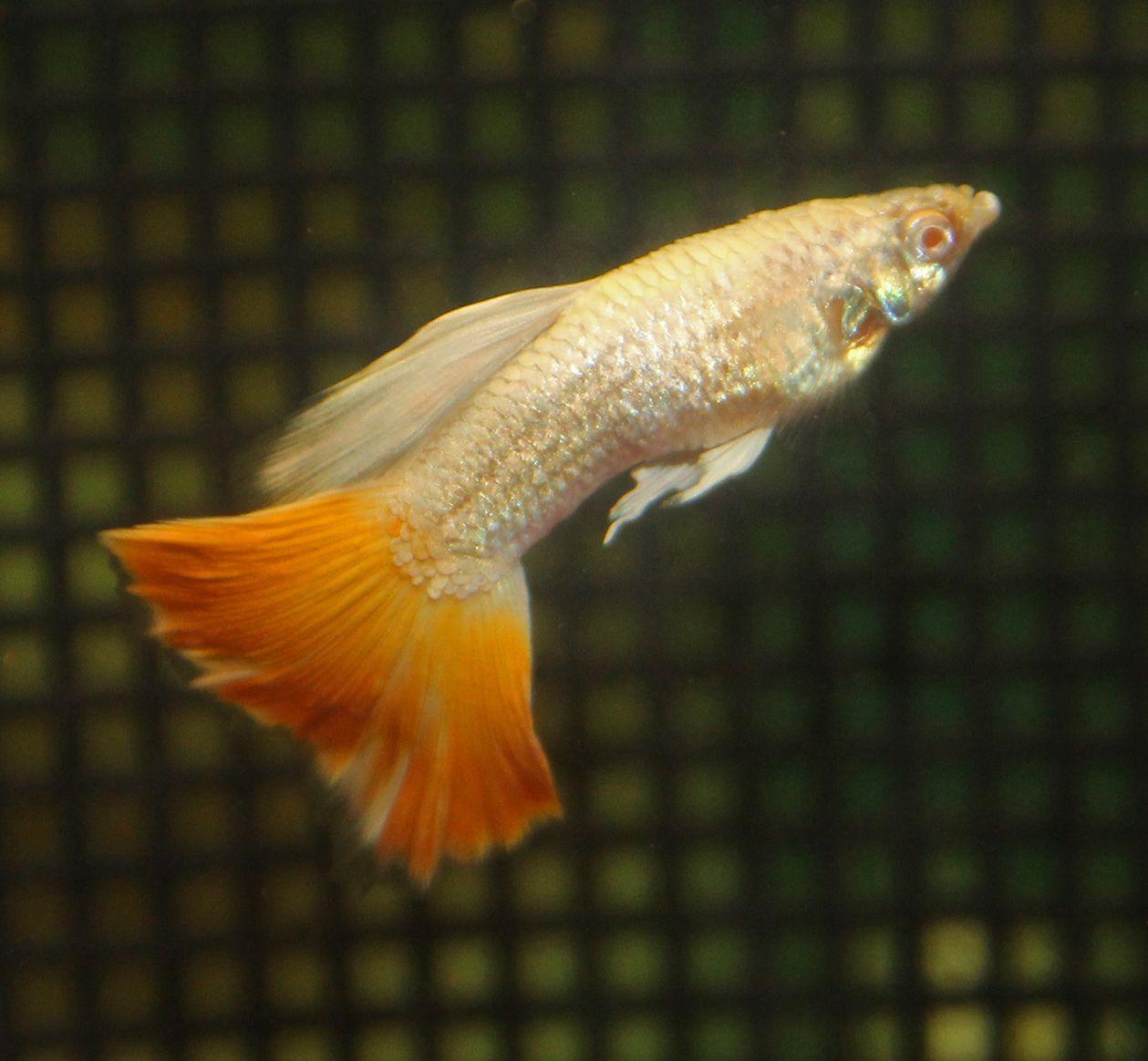 Platinum Albino Aoc Orange Guppies Guppy Albino Fish Pet