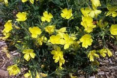 Oenothera 'Innoeno131' LEMON DROP - Plant Finder