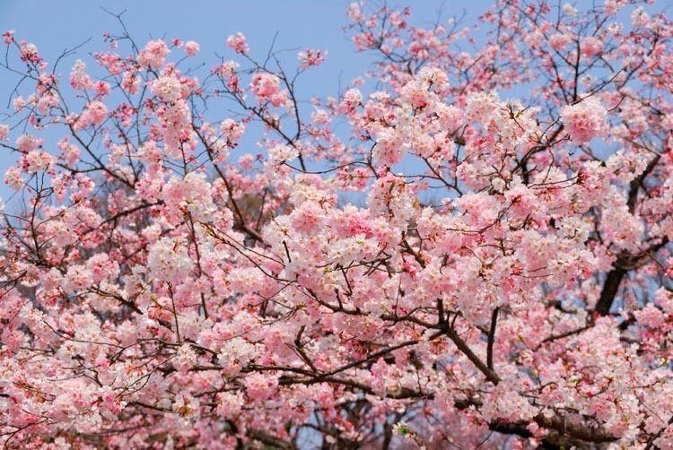 Prunus Yedoensis Akebono Japanese Flowering Cherry Akebono Yoshino Cherry Akebono Cherry Akebono Yoshino Cherry Prunus X Yedoensis Prunus Yedoensis