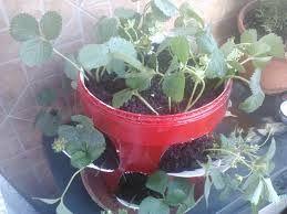 cultivar fresas en casa - Buscar con Google