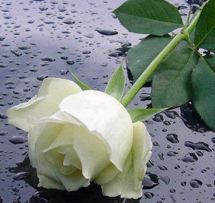President Snow's last flower | White roses, Black and ...
