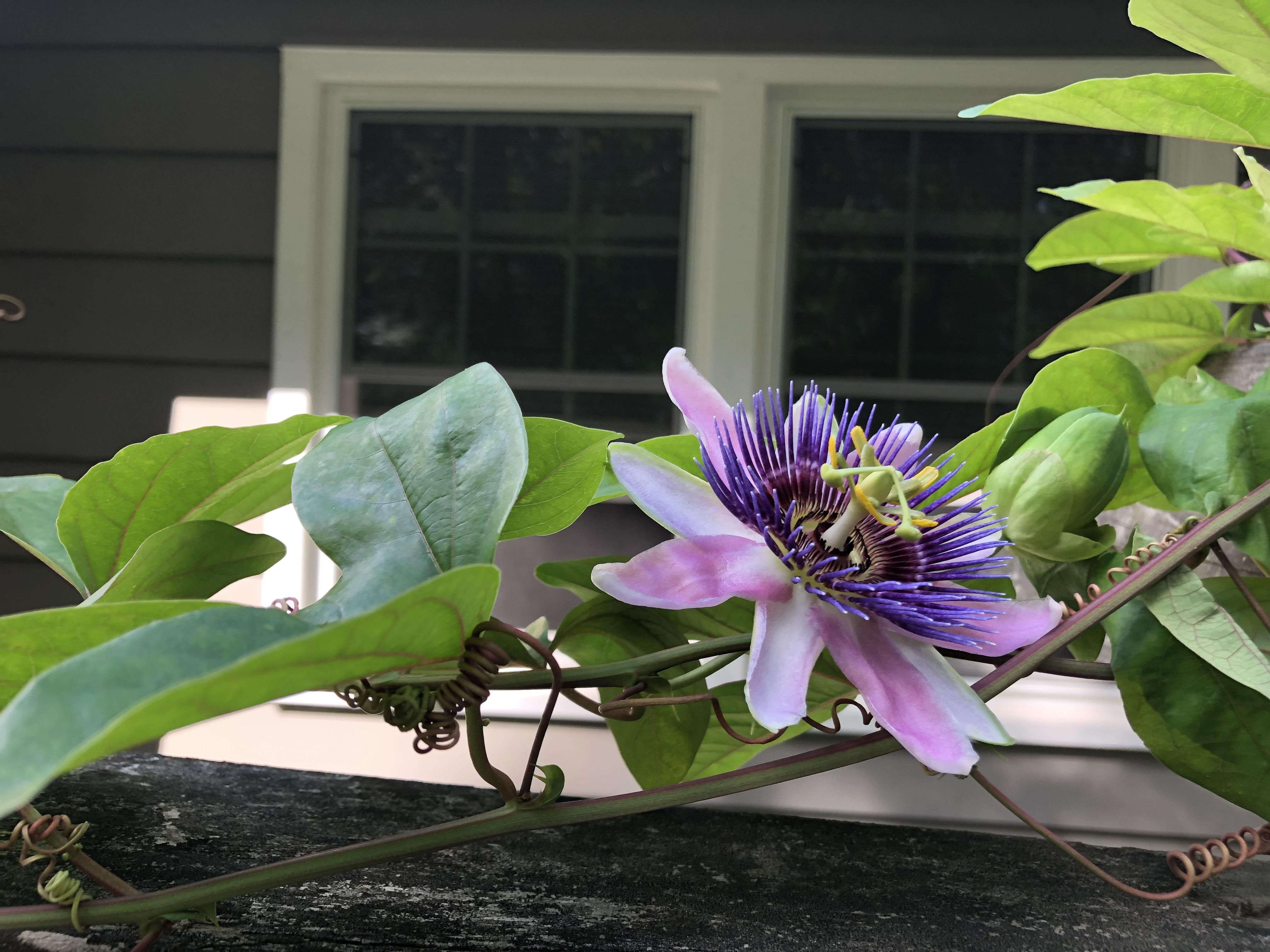 My Passion Flower In Bloom For The Second Time This Year Passion Flower Bloom Flowers