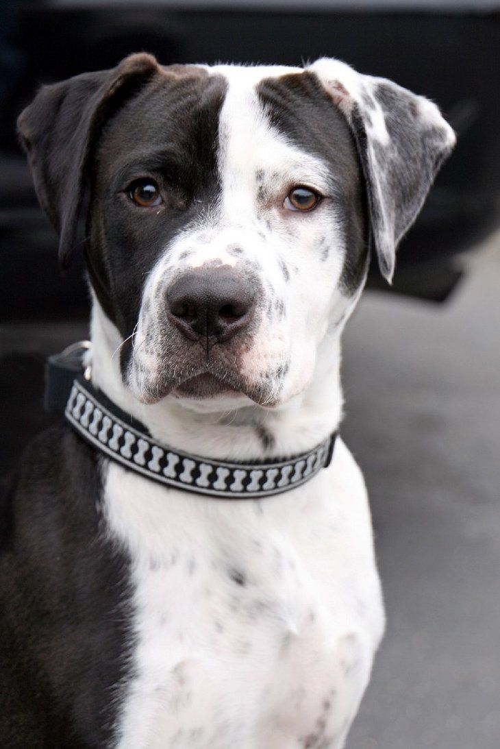 Loki The Dalmatianpit Bull Mix By Sukinorules Dalmatians