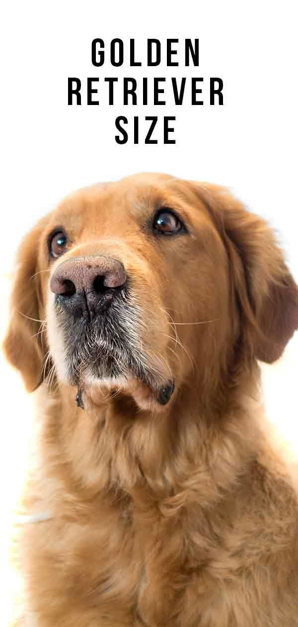 Golden Retriever Size Guide How Tall And Heavy Will Your Dog Be